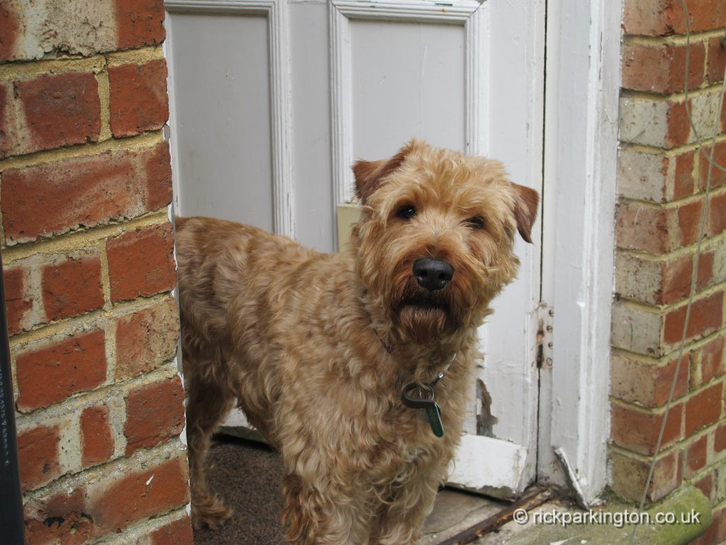Finbar the Irish Terrier